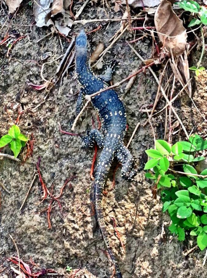 Crazy Ko Phi Phi Lizard